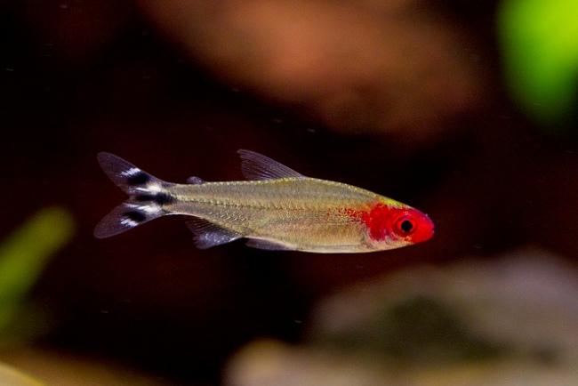 тропическая рыбка родостомус или краснорылая тетра