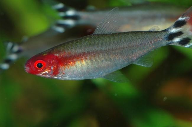 аквариумная рыбка семейства харациновых родостомус или краснорылая тетра
