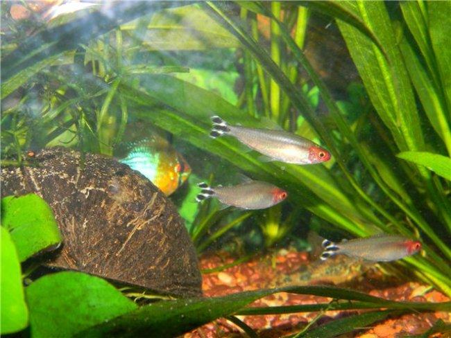 тропические рыбки родостомусы или краснорылые тетры плавают в аквариуме