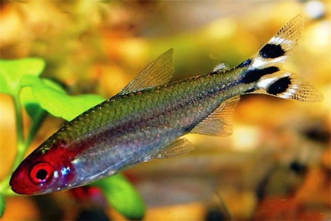 рыбка семейства харациновых родостомус или красноносая тетра плавает в аквариуме