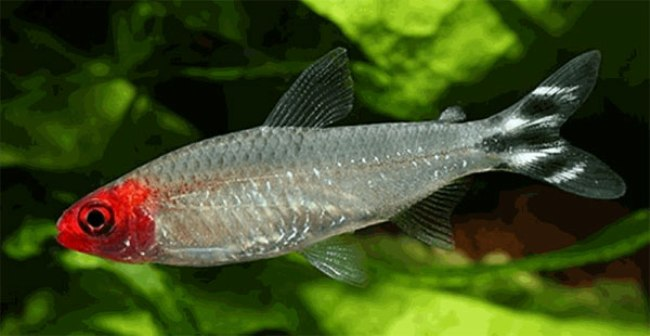 тропическая рыбка родостомус или красноголовая тетра в аквариуме
