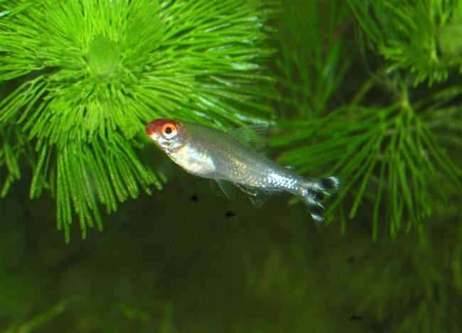 рыбка семейства харациновых родостомус или тетра пьяный нос в аквариуме
