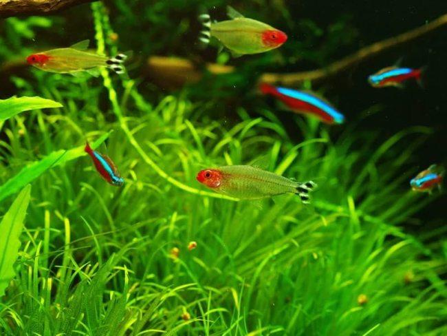 родостомусы в аквариуме с неонами