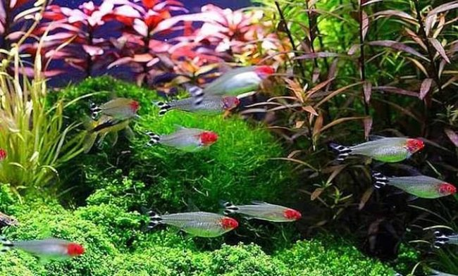 тропические рыбки родостомусы или красноголовые тетры плавают в аквариуме