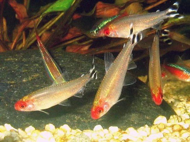 рыбки семейства харациновых родостомусы или красноголовые тетры в аквариуме