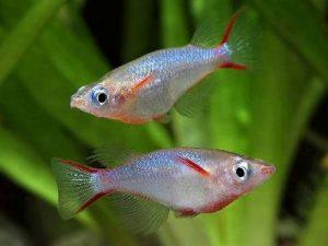 рыбки оризия муна в аквариуме