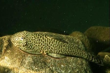 рыбка гитара плавает в аквариуме