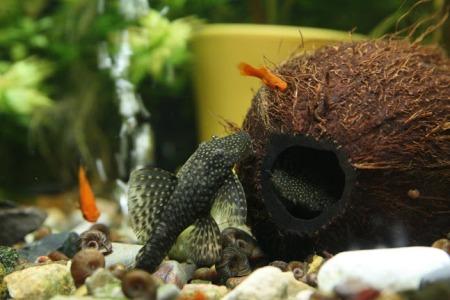 сомики и другие рыбки плавают рядом с кокосом в аквариуме