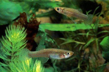 рыбки гамбузии в аквариуме