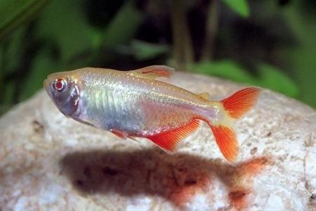 тетрагоноптерус альбинос в аквариуме