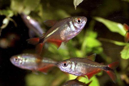 тетрагоноптерусы в аквариуме