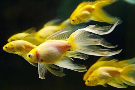 золотые рыбки вуалехвосты