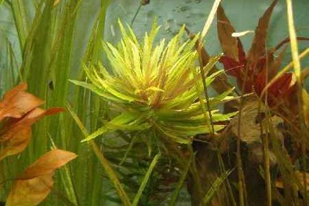 аквариумное растение погостемон кимберли