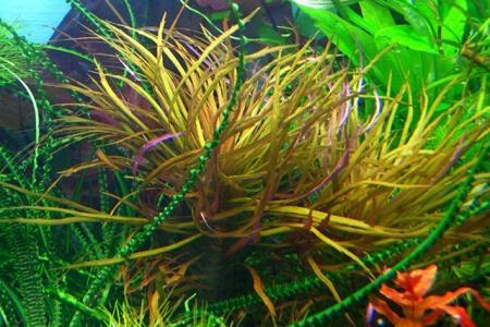 погостемон шри ланка в аквариуме