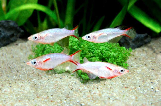 рыбки оризиас вовора плавают в аквариуме