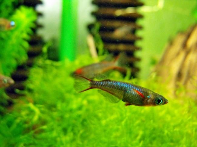 рыбки оризиас вовора плавают среди растений в аквариуме