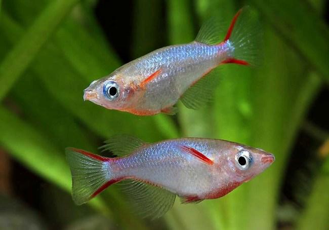 пара рыбок оризиас вовора на фоне растений в аквариуме