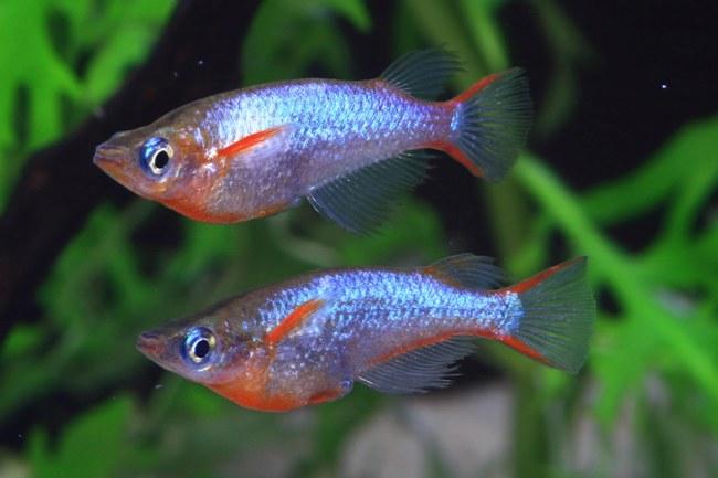 пара рыбок оризиас вовора