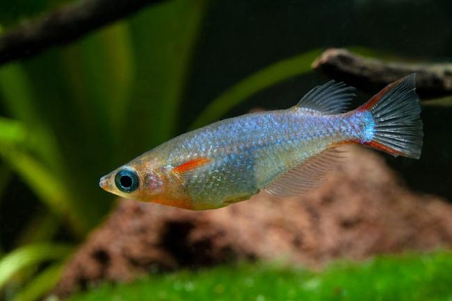 рыбка оризиас вовора