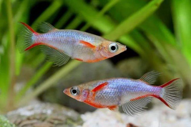 пара рисовых рыбок оризиас вовора
