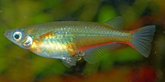 тропическая рыбка оризиас вовора