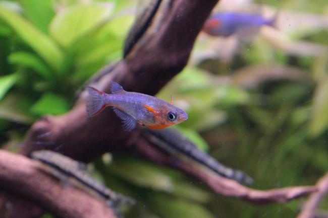 оризиас вовора на фоне коряг в аквариуме