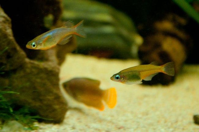 рыбки оризиас вовора