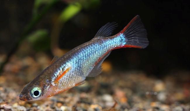 рисовая рыбка оризиас вовора в аквариуме