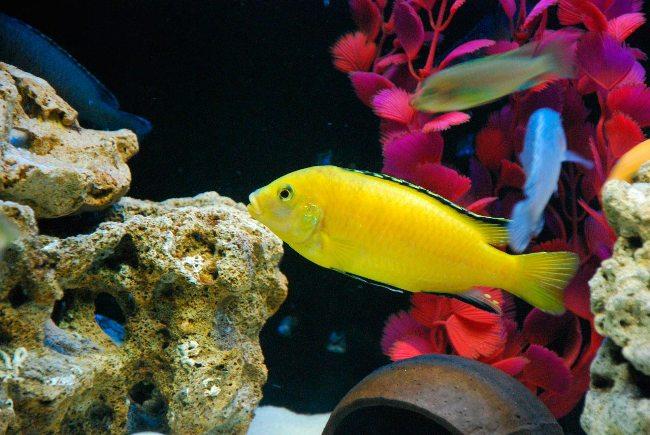 лабидохромис желтый в аквариуме с другими рыбками