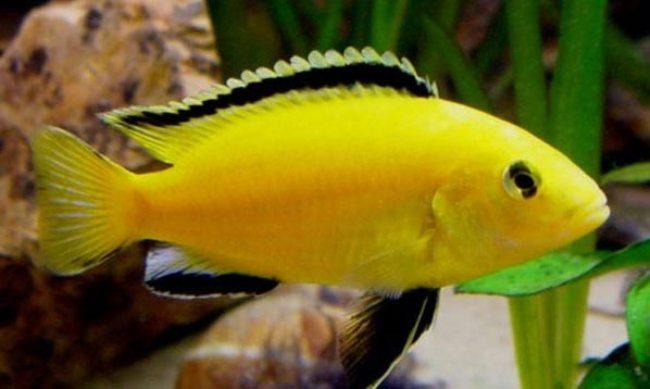 рыбка лабидохромис еллоу или лабидохромис желтый