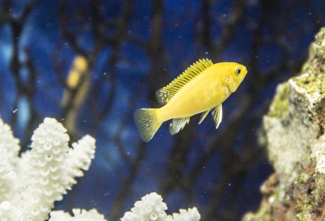 цихлида лабидохромис еллоу или цихлида-колибри плавает в аквариуме