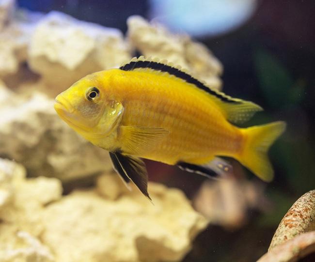 рыбка семейства цихловых лабидохромис еллоу или лабидохромис желтый