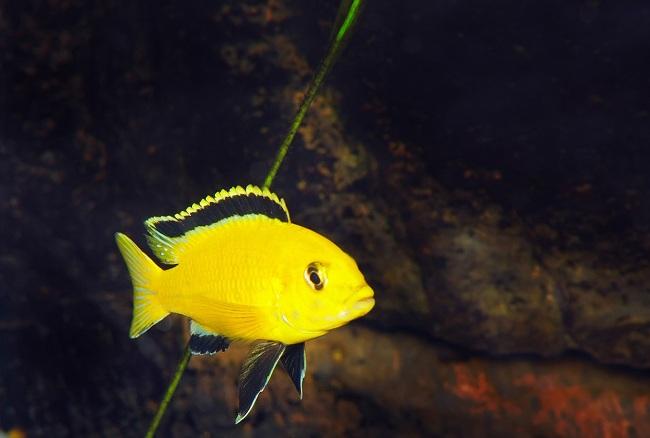 рыбка лабидохромис еллоу в аквариуме