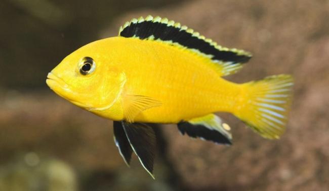 ярко-желтая рыбка лабидохромис еллоу