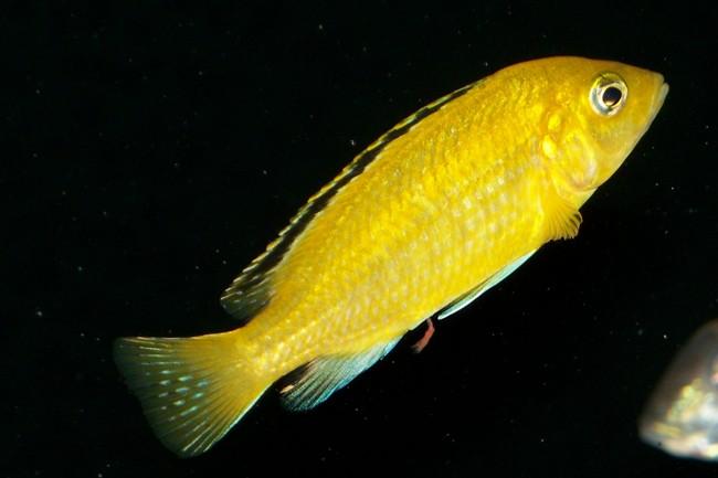 рыбка лабидохромис желтый в аквариуме