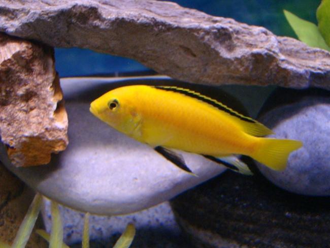 рыбка семейства цихловых лабидохромис еллоу