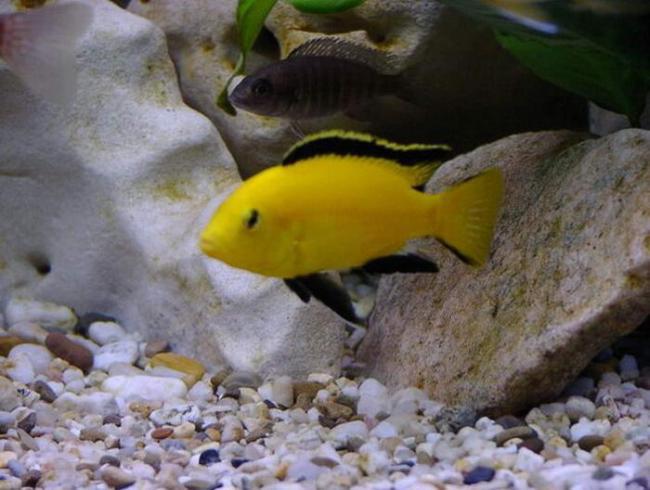 ярко-желтая африканская цихлида лабидохромис еллоу плавает в аквариуме