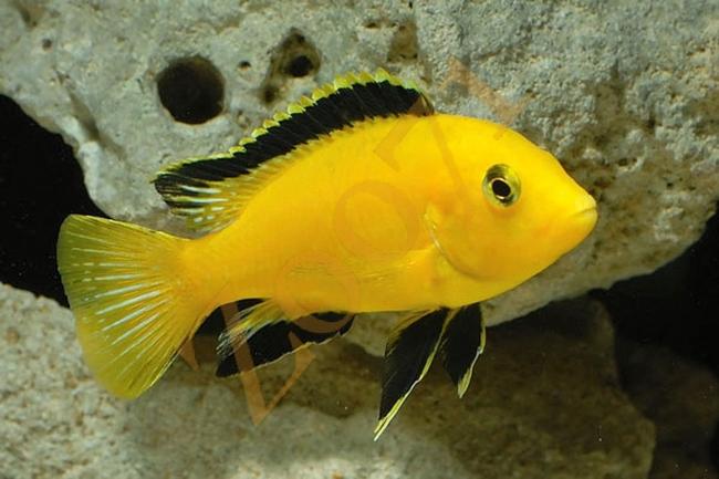 рыбка семейства цихловых лабидохромис желтый или цихлида-колибри в аквариуме