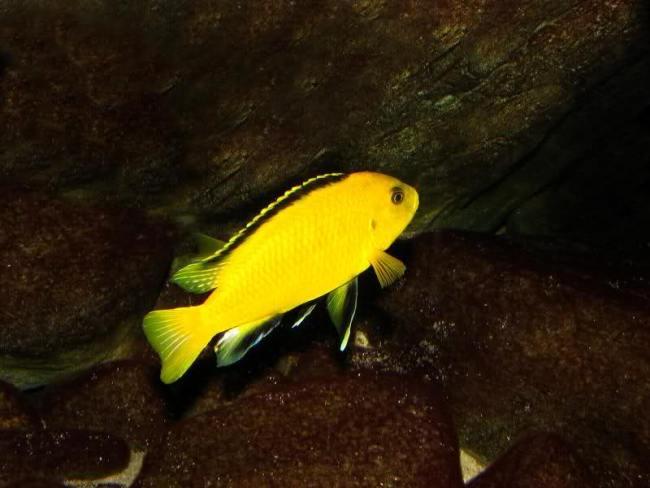 ярко-желтая цихлида озера малави лабидохромис еллоу плавает в аквариуме