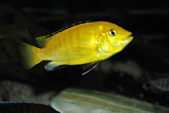 цихлида озера малави лабидохромис желтый или цихлида-колибри в аквариуме