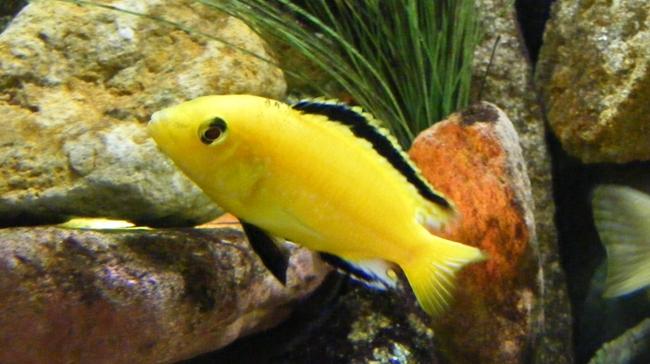 ярко-желтая цихлида-колибри