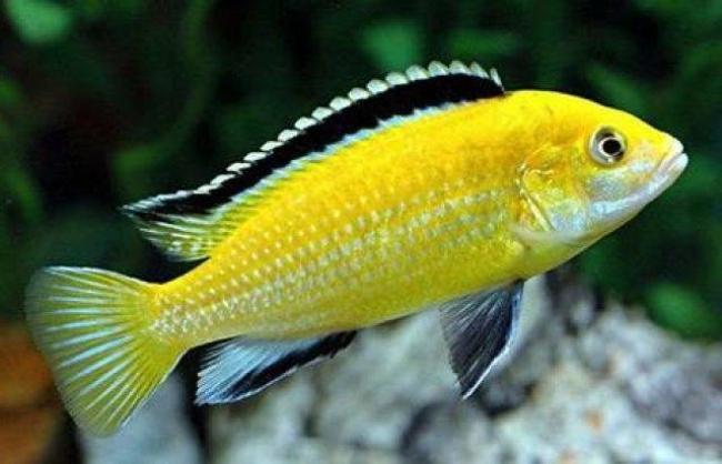 ярко-желтая рыбка лабидохромис еллоу плавает в аквариуме