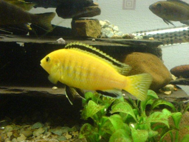 рыбка лабидохромис еллоу или лабидохромис желтый в аквариуме
