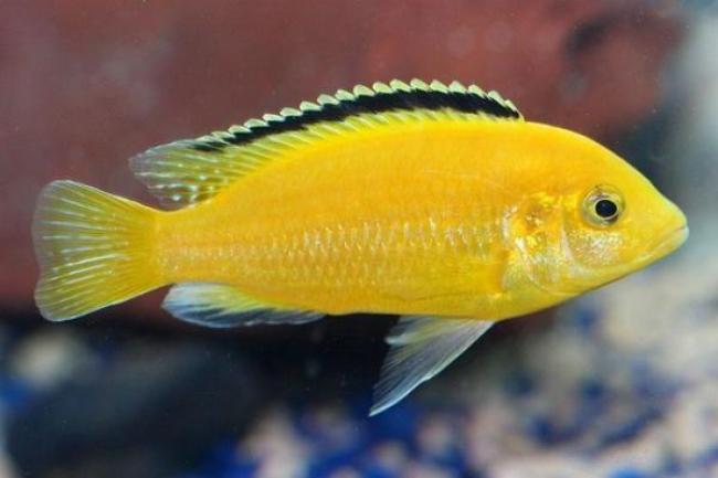 ярко-желтая аквариумная рыбка лабидохромис еллоу