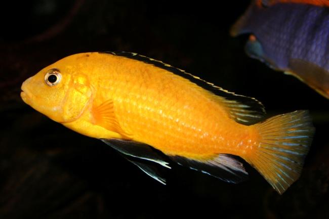 ярко-желтая рыбка семейства цихловых лабидохромис еллоу