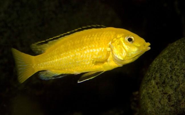 лабидохромис еллоу плавает в аквариуме