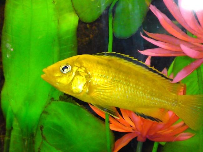 лабидохромис желтый плавает в аквариуме среди растений