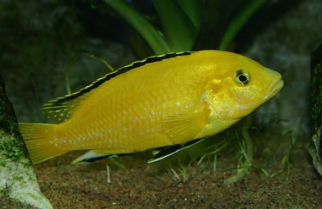 ярко-желтая цихлида озера малави лабидохромис еллоу