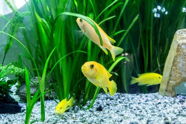 аквариумные рыбки лабидохромисы желтые