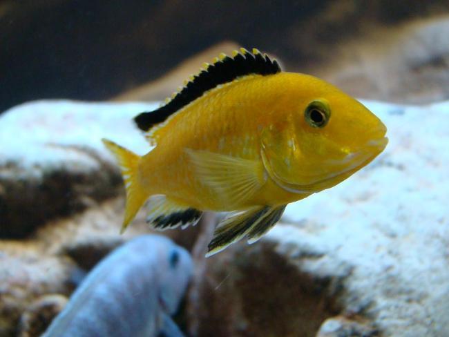 цихлида-колибри в аквариуме с другими рыбками